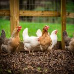 Chickens at Hidden Valley Yurts back to nature site