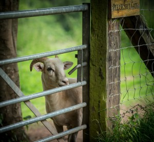 Sheep at our South Wales glamping site