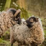 Sheep at Hidden Valley Yurts glamping Wales