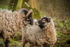 Sheep at Hidden Valley Yurts glamping Wales