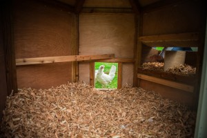Chickens at Hidden Valley Yurts glamping Wye Valley