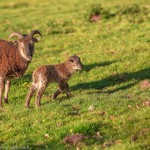 Soay lamb and mum Wales